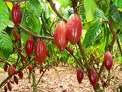 Cocoa in Indonesia